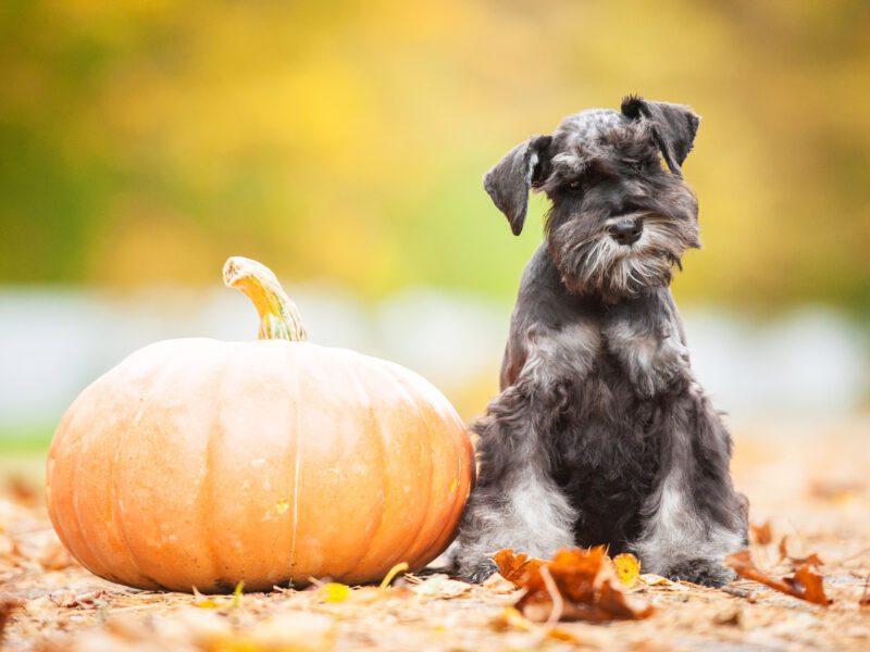 Best Pumpkin treats for your dog