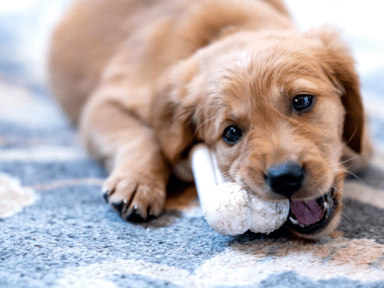 Puppy chewing on everything? Here are some simple ways to get him to stop.