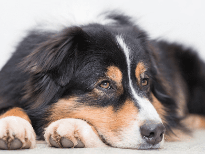 Does your dog whimper at loud noises? He may have noise aversion. Here's how you can help!