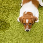 How to End Your Dog's Urine Marking for Good