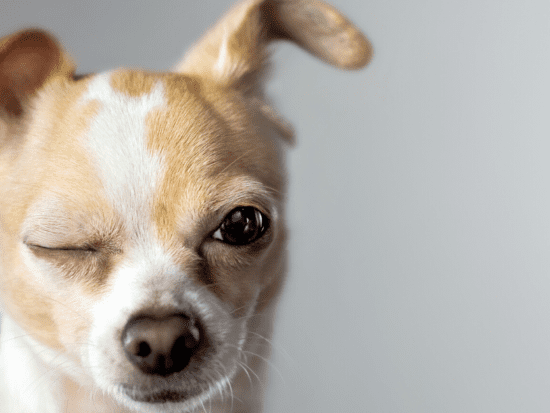 Dog Ear and Eye Problems