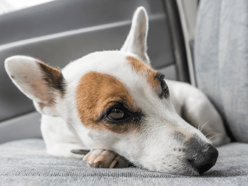Could your dog suffer from signs of motion sickness without you even knowing it?