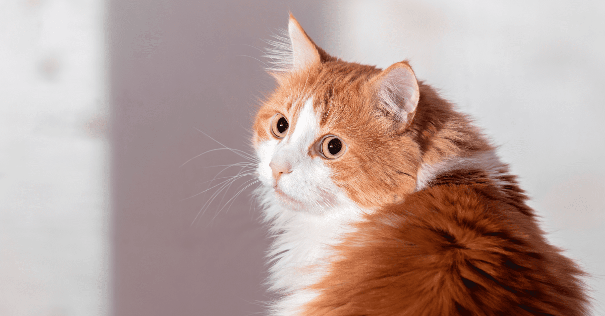 Cat Anxiety Symptoms