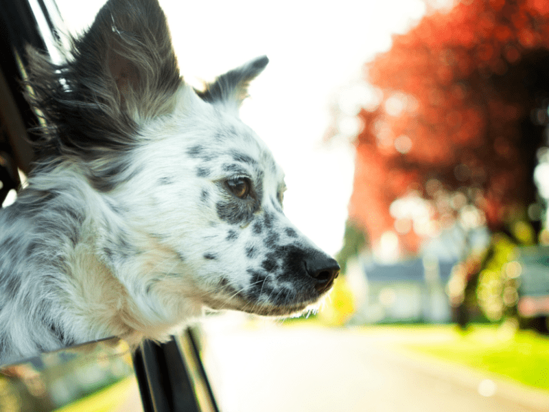 Traveling? Here's how to easily travel with your dog.