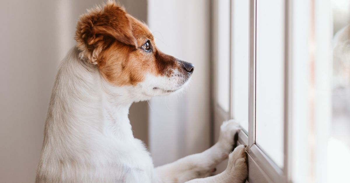 Keep your anxious dog calm when home alone.
